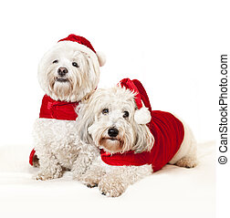 Two cute dogs in santa outfits - Two adorable coton de...