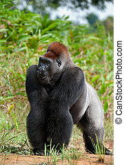 Silverback. - Silverback - adult male of a gorilla. Western...