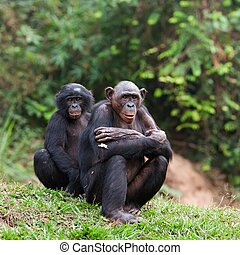 Bonobo - Pair portrait Bonobo on a grass