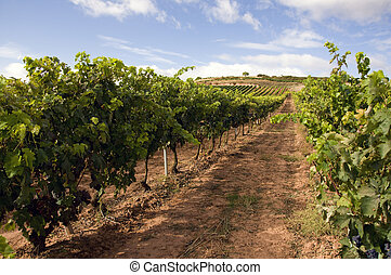 Wineyard - View of a wineyard in la rioja, Spain