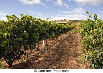 Wineyard - View of a wineyard in la rioja, Spain