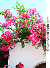 Bougainvillea spectabilis on the white wall