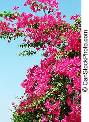 Cor-de-rosa, florescer, Bougainvilleas, contra, azul,...