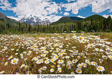 White daisies and Mount Robson - White daisies in full bloom...