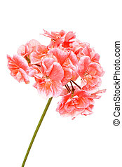 Blossoming salmon geranium isolated on a white background