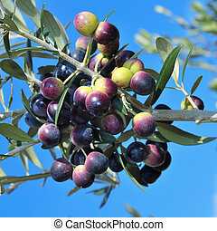 olive tree branch - an olive tree branch with ripe olives