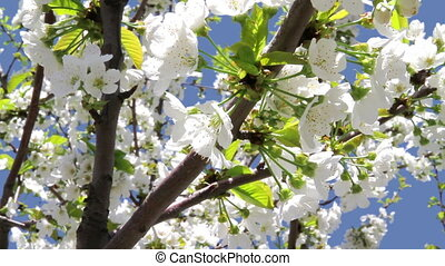 Spring flowering - Blossoming cherry on blue sky background