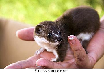 Least weasel baby Mustela nivalis in hand