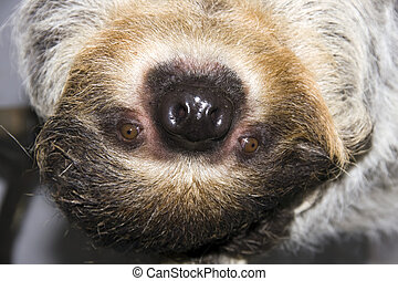 Two-toed sloth - Head of a Two-toed sloth (Choloepus...