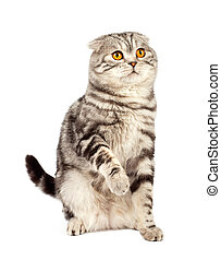 Scottish fold - Portrait cat, scottish fold sort on white...