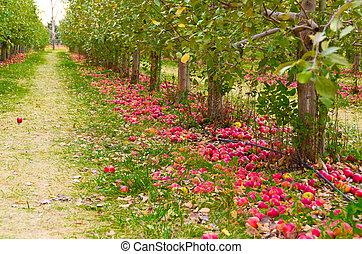 Apple Trees - Alot of Apples on the Ground near Apple Trees