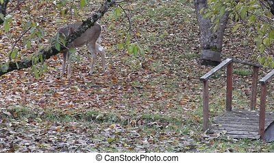 Trophy Whitetail Buck - This large Buck shows up about every...