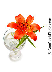 Tiger lily - Red tiger lily isolated on the white background