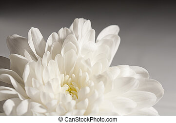 Close up shot of chrysanthemum