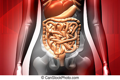 Human body with  digestive system