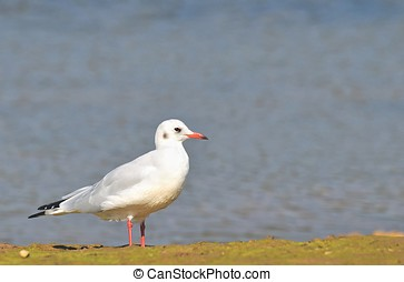 Laughing gull. - Laughing gull, Chroicocephalus ridibundus