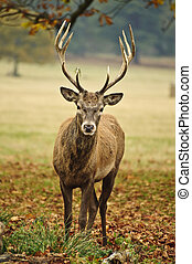 Frontal portrait of adult red deer stag in Autumn Fall