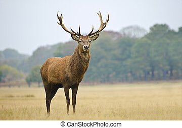 Portrait of majestic red deer stag in Autumn Fall - Portrait...