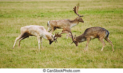 Fallow deer stags antler jousting in Autumn Fall - Grroup of...