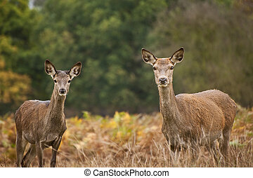 Beautiful image of red deer female does in Autumn Fall...