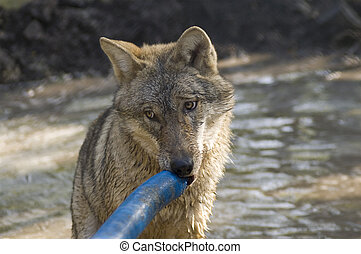 Wolf with a tube - European gray wolf (Canis lupus) with a...