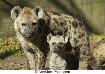 Spotted hyena mother and cub - Spotted hyenas (Crocuta...