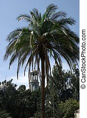 Palm tree in Addis Ababa, Ethiopia - A palm tree in a park...
