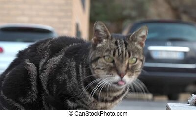 Street Tabby - Video of street tabby