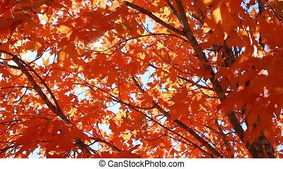Sun Through Fall Leaves - Sunlight streams through fall...