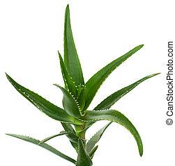 Aloe vera isolated on white background