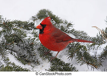 Cardinal In Snow - Male Northern Cardinal (cardinalis...