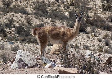 Guanaco Lama guanicoe - Guanaco at chilean altiplano
