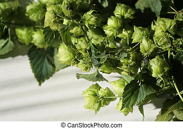 Hop plant - a hop plant on white back ground