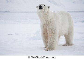 Polar bear - King of the Arctic - Arctic, Spitsbergen,...