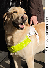 Guide Dog for the Blind - A golden retriever guide dog for...