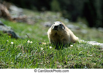 Big marmot walking in the grass and flowers - Big front...