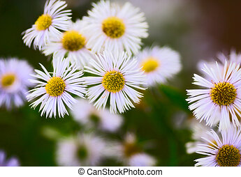 Erigeron Alpinus - erigeron alpinus flowers in garden at...