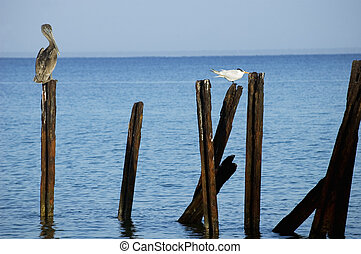 Pelican and seagull on metal sleepers in Maria la Gorda,...