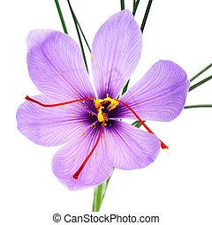 saffron flower - a saffron flower on a white background