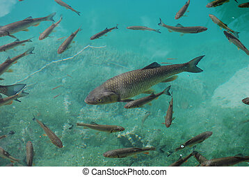 Trout in clear turquoise water - Trouts in pellucid lake...