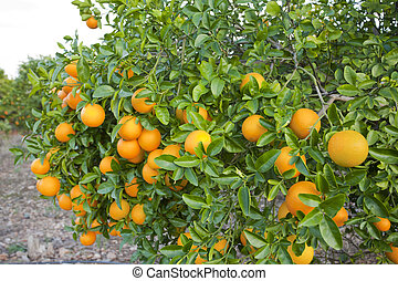 Valencia orange trees - Orange orchards in Valencia, Spain