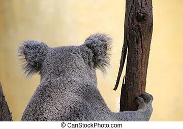 Koala, eucalipto
