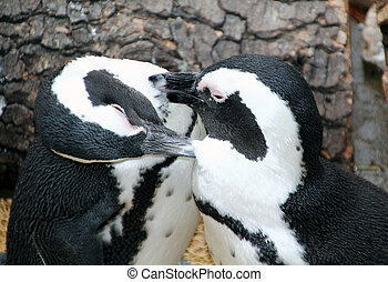 Magellanic penguins sympathetic