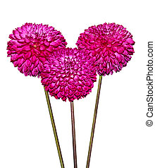 Three Magenta Dahlia Flowers isolated on white