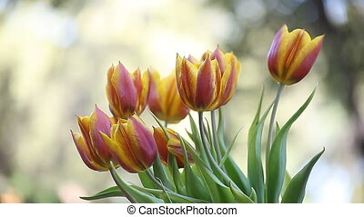 red and yellow tulips - brightly colored tulips in a breeze