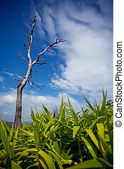 Dead tree with blue sky