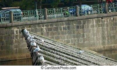 seagulls fly out from wood riverside in prague