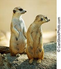 two Meerkat