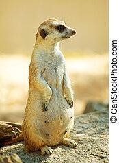 Meerkat, debout