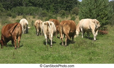Cow bums.